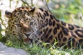 Картинка трава, хищник, леопард, оскал