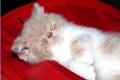 Картинка сон, размытость, котёнок, персидский