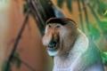 Картинка Netherlands, Monkey, Apenheul Primate Park