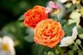 Картинка макро, розы, бутоны, боке
