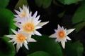 Картинка белые, лилии, кувшинки, цветы