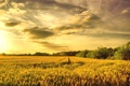 Картинка пшеница, поле, золото
