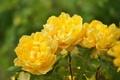 Картинка макро, лепестки, жёлтые розы