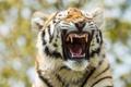 Картинка кошка, морда, тигр, пасть, тигрёнок, амурский
