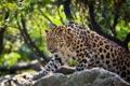 Картинка дикая кошка, хищник, амурский леопард