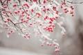 Картинка красные, снег, ветки, плоды