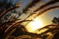 Картинка солнце, растения, колосья
