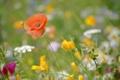 Картинка поле, трава, природа, мак, лепестки, луг