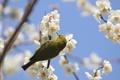 Картинка ветки, птица, весна, лепестки, сакура, цветение
