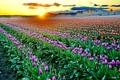 Картинка закат, цветы, тюльпан, Dreamy Sunsetе