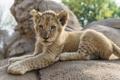 Картинка кошка, камень, лев, детёныш, львёнок, ©Tambako The Jaguar