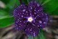 Картинка цветок, листья, капли, роса, лепестки