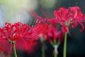 Картинка цветок, макро, красный, розовый, radiata, Lycoris