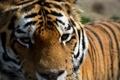 Картинка глаза, взгляд, тигр, хищник