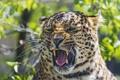 Картинка кошка, морда, пасть, леопард, ©Tambako The Jaguar
