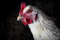Картинка макро, птица, курица