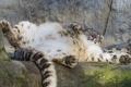 Картинка кошка, отдых, камень, ирбис, снежный барс, ©Tambako The Jaguar