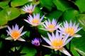 Картинка цветы, оранжевые, водоем, сиреневые, кувшинки, лисьтя