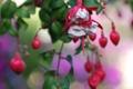 Картинка цветок, листья, розовый, ветка, бутоны, фуксия