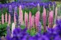Картинка цветы, природа, розовые, синие, Люпины