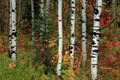 Картинка осень, лес, листья, деревья, ель, роща, осина