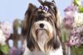 Картинка собака, девочка, бантик, заколка