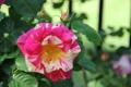 Картинка роза, бутон, цветение, желто-розовая