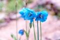 Картинка цветы, голубые, меконопсис, гималайский голубой мак, Meconopsis