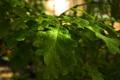 Картинка капли, листья дуба, ветка, роса