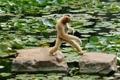 Картинка листья, камни, обезьяна, переход, водоём, белощекий гиббон