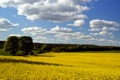 Картинка поле, небо, деревья, весна, рапс