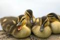 Картинка брусок, ducklings, утята