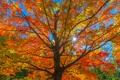 Картинка осень, лес, небо, листья, солнце, лучи, дерево
