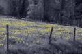 Картинка поле, забор, одуванчики