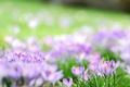 Картинка лес, цветы, весна, крокусы