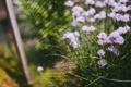 Картинка ограда, трава, сетка, лепестки, забор, цветы