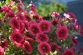 Картинка цветы, цветение, Calibrachoa