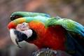 Картинка крылья, перья, клюв, попугай