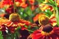 Картинка лето, цветы, желтые, ярко, оранжевые, flowers
