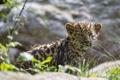 Картинка кошка, трава, леопард, детёныш, котёнок, амурский, ©Tambako The Jaguar