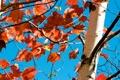 Картинка осень, небо, листья, дерево, ствол, багрянец