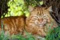 Картинка кошка, трава, кот, взгляд, ©Tambako The Jaguar