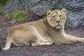 Картинка кошка, отдых, львица, ©Tambako The Jaguar