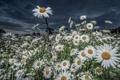 Картинка цветы, природа, ромашки