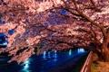 Картинка город, дерево, вечер, Япония, сакура, цветущая сакура