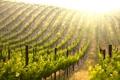 Картинка природа, виноградник, кусты, тропинки, столбцы