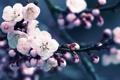Картинка лепестки, абрикос, bloom, почки, природа, макро, ветка