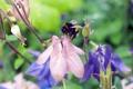 Картинка лето, цветы, природа, Макро, шмель, колокольчики