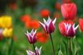 Картинка растения, весна, тюльпаны