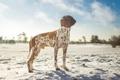 Картинка зима, небо, солнце, облака, снег, собака, пойнтер